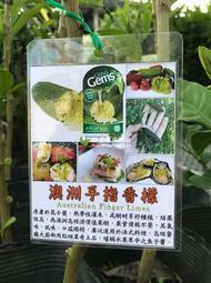 🙏 綠手指檸檬 Finger lemon 嫁接 澳洲指檬 檸檬盆栽 拇指檸檬 綠手指香檬 指檬 finger lime