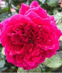 花花世界_玫瑰苗-*皇家胭脂*,Rouge Royale--大輪強香-法國切花月季-/4吋盆苗/高10~30公分/Tm