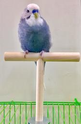 ☆瑞德寵物百貨☆ 鳥寶專用 ~T型站棍(小:直徑1.5cm )