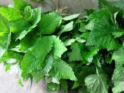 高山野生山芹菜(鴨兒芹)含葉1公斤300元,至少購買5公斤,本島內運費270元,入帳確認後60天內出貨