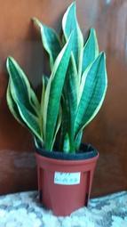 ~#11#12黃邊(金邊)虎尾蘭~室內桌上盆栽(6吋控根盆+用培養土裝美植袋+防草蓋)