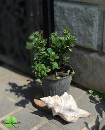 ~長榮~~【達摩-玉堂春】3.5吋盆 丸葉梔子 達摩梔子 觀葉植物