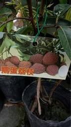 ( 花園小果樹 ) - 鵝蛋荔枝(高壓苗)果實大如鵝蛋