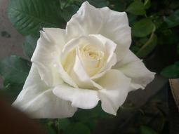 花花世界_玫瑰苗--阿姆斯特丹,四季開花--大輪 少刺 /4吋盆苗/高10~30公分/Tm