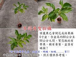 (特殊帖-諮詢看照片)蔬果 蔬菜 水果 香草 枝條 苗栽 盆栽