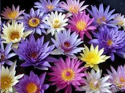 Flora & Cloris行家收藏系列 混合色 Nymphaea mix 日本 香水 睡蓮 種子