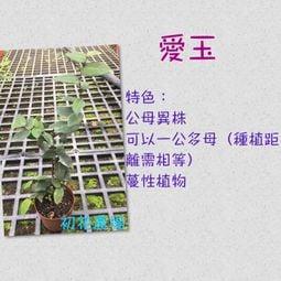 初花農場|愛玉苗(公母株皆有)|3吋盆|----定價120特價100