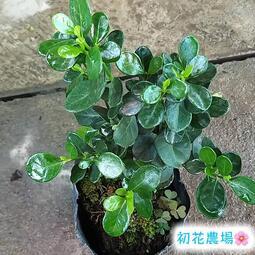 初花農場|圓葉玉堂春|觀花植物|3吋盆|----定價60特價50